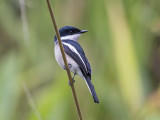 Bar-winged Flycatcher-shrike