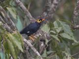 Southern Hill Mynah  Sri Lanka