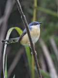 Ashy Prinia     Sri Lanka