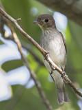 Asian Brown Flycatcher   Sri Lanka