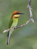 Chestnut-headed Bee-eater     Sri Lanka