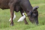 Cattle Egret   Sri Lanka