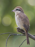 Brown Shrike    Sri Lanka