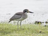 Greater Thick-knee     Sri Lanka
