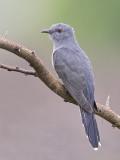 Grey-bellied Cuckoo