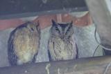 Oriental Scops Owl