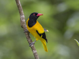 Black-hooded Oriole   Sri Lanka
