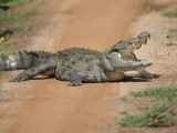 Marsh Mugger Crocodile