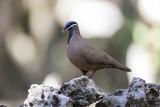Blue-headed Quail-Dove