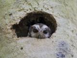 Cuban Screech Owl