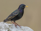 Starling   Wirral