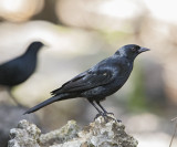 Tawny-Shoulderd Blackbird