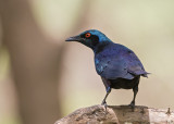 Bronze-tailed Starling
