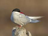 Arctic Tern     Iceland