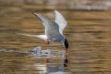 Artic Tern   Scotland