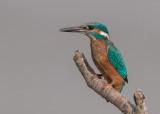Kingfisher   England