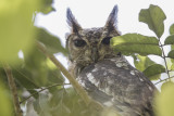 Greyish Eagle-Owl