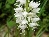 Wild orchids: albiflora
