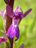 Anacampt. laxiflora x Anacampt. morio (Orchis xalata)
