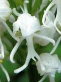 Orchis simia ssp. albiflora