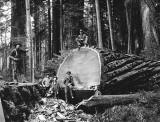 c. 1915 - Lumberjacks in the redwood forest