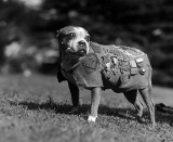 Sergeant Stubby, the most decorated dog in the war