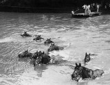 French cavalry horses swimming across a river