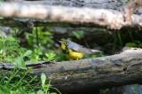 Canada Warbler  0413-1j  Mustang Island, TX