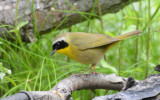 Common Yellowthroat  0413-2j  Galveston, TX