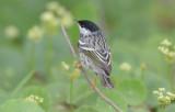 Blackpoll Warbler  0413-6j  Mustang Island, TX