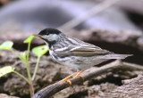 Blackpoll Warbler  0413-7j  Galveston, TX