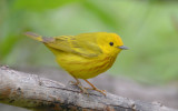 Yellow Warbler 0413-1j  Mustang Island, TX