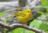 Yellow Warbler 0413-2j  Galveston, TX