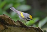 Golden-winged Warbler  0413-5j  Galveston, TX