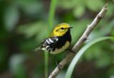 Black Throated Green Warbler  0413-3j  Galveston, TX