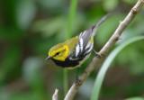 Black Throated Green Warbler  0413-4j  Galveston, TX