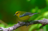 Blue Winged Warbler  0413-1j  Galveston, TX
