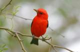 Scarlet Tanager  0413-3j  Mustang Island, TX