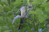 Black-billed Cuckoo  0413-2j  Galveston, TX