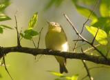 Yellow-green Vireo  0413-1j  Galveston, TX