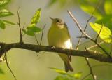 Yellow-green Vireo  0413-2j  Galveston, TX