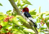 Red-headed Woodpecker  0413-1j  High Island, TX