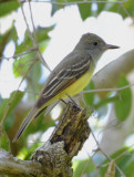 Great Crested Flycatcher  0413-1j  High Island, TX