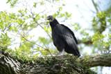 Black Vulture  0413-1j  High island, TX