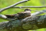 Common Nighthawk 0413-1j  High island, TX