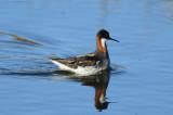 Red-necked Phalarope  0613-1j  Council Road, Seward Peninsula, AK