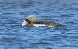 Red-throated Loon  0613-4j  Nome, AK