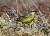 Yellow Wagtail  0613-2j  Council Road, Seward Peninsula, AK