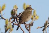 Gray-cheeked Thrush  0613-1j  Council Road, Seward Peninsula, AK