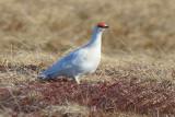 Rock Ptarmigan  0613-1j  Kougarok Road, Seward Peninsula, AK